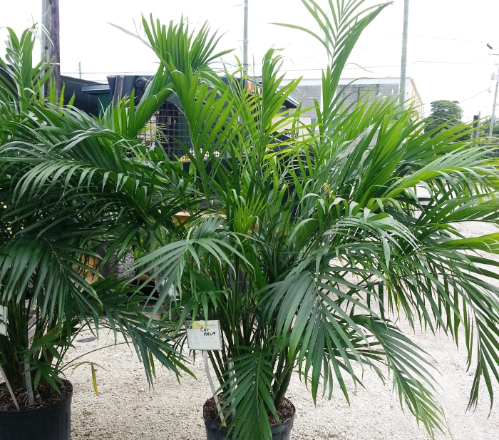 Cat Palm - Heritage FarmsHeritage Farms